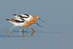 American Avocets Stock Image