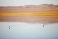 American Avocets in Pond at Sheldon National Wildlife Refuge, Nevada Royalty Free Stock Photos