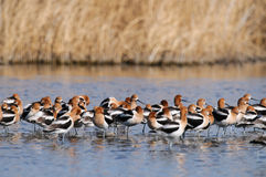 American Avocets Royalty Free Stock Image