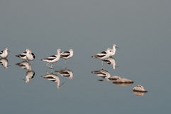 American Avocets. With reflections on a pond royalty free stock photo