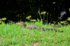 American Baby Alligators Lying in the Grass. Close up of an American Baby Alligator lying in the grass on the bank of the canal as another baby alligator hides Royalty Free Stock Images