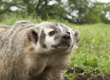 American Badger Royalty Free Stock Images