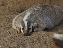 American Badger royalty free stock photos