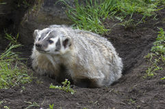 American Badger at burrow Stock Image