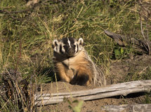 American badger at burrow with grass and sticks Stock Photo