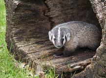 American badger cub Royalty Free Stock Photography