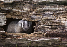 American badger cub Royalty Free Stock Image
