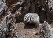 American badger cub Stock Image