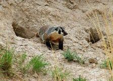 An American Badger Stock Photos