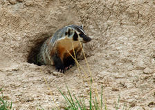 An American Badger Royalty Free Stock Photography