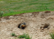 An American Badger Stock Image