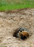 An American Badger Royalty Free Stock Images