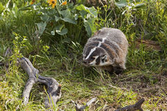 American Badger in forest grass Stock Image