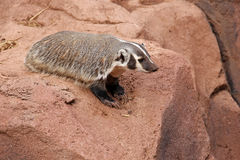 American badger looking over a rock ledge Royalty Free Stock Images