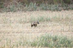 American Badger. Royalty Free Stock Photo