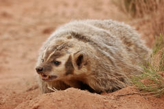 American badger sitting on the dirt ground Stock Photography