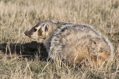 American Badger staining ground on prairie Stock Photos