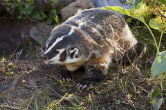 American Badger Taxidea taxus Stock Photos