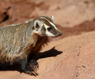 American badger (Taxidea taxus) Royalty Free Stock Images