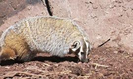 An American Badger, Taxidea taxus, Family Mustelidae. A Close Up of an American Badger, Taxidea taxus, Family Mustelidae royalty free stock photography