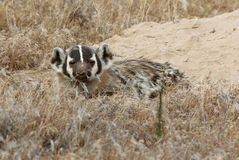 American Badger - Taxidea taxus Royalty Free Stock Photo