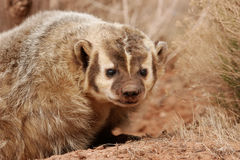 American badger (Taxidea taxus) Royalty Free Stock Image