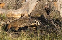American badger under tree hollow in grass Royalty Free Stock Photo