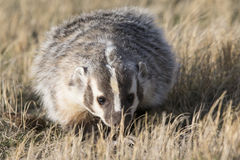 American badger walking in prairie grass Royalty Free Stock Photos