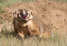 American Badger Stock Images