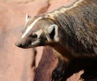 American badger (Taxidea taxus) Stock Photo