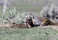 The American Badger. In Yellowstone National Park Stock Photos