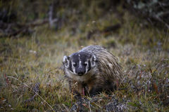 American Badger in Yellowstone. An American badger is out hunting in the middle of the day in Lamar valley, Yellowstone national park Stock Photography