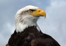 American Bald Eagle. American bald eagle, head and shoulders royalty free stock image