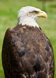 American bald eagle. Image of a bird of prey over a natural background Royalty Free Stock Photos