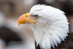 American Bald Eagle. A close-up head shot of an American Bald Eagle.  It was taken in Homer, Alaska. The eagle has a water drop on its beak Royalty Free Stock Images