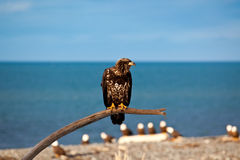 American Bald Eagle. A photo of an young American Bald Eagle on a perch. It was taken in Homer, Alaska. The background is sea and sky along with other eagles Stock Images
