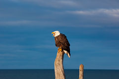 American Bald Eagle. A photo of an American Bald Eagle resting on a perch. The photo was taken in Homer, Alaska Royalty Free Stock Images