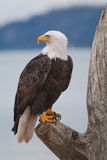 American Bald Eagle. A photo of an American Bald Eagle on a perch. It was taken in Homer, Alaska Royalty Free Stock Photos