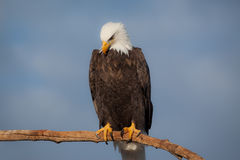 American Bald Eagle. A photo of an American Bald Eagle resting on a perch. The photo was taken in Homer, Alaska Royalty Free Stock Photography