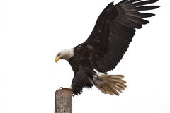American Bald Eagle. A Photo of an American Bald Eagle in Flight  landing on a stump isolated on a white background. It was taken in Homer, Alaska Stock Photography