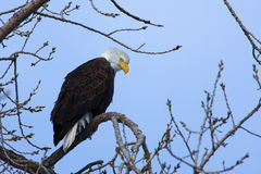 American Bald Eagle Stock Photography