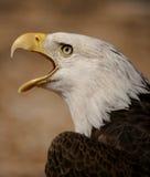 American bald eagle. Portrait of a bald eagle calling Stock Image