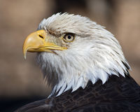 American bald eagle. Closeup portrait of an bald eagle Royalty Free Stock Image