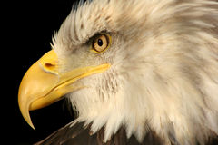 American Bald Eagle. Closeup on the face in profile of the American Bald Eagle.  Isolated on black Stock Photography