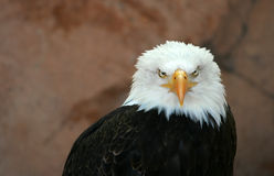 American bald eagle royalty free stock photo