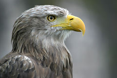 American bald eagle. Close-up portrait of a beautiful american bald eagle stock images