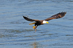 American Bald Eagle. Scooping fish from water stock photo