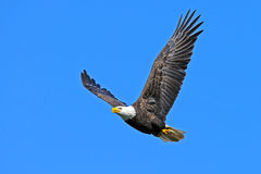 American Bald Eagle. In flight with fish tucked in talons Royalty Free Stock Images