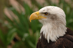American Bald Eagle. Portrait of a bald eagle in profile. Isolated by shallow depth of field royalty free stock photos