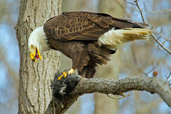 American Bald Eagle. Eating an American Coot royalty free stock images